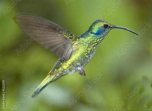 Hummingbird-Green violet ear