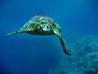 Fototapeten,schildkröte,meeresschildkröte,reptilien,reptilien