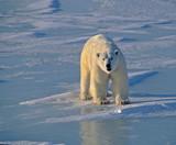 Polar bear - Fine Art prints