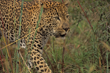 Africa-Leopard