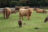 highland cattle cow with sheep  in farm poster