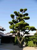 Japonský strom