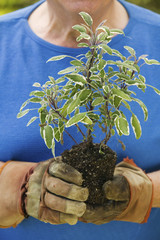 Senior man holding seedling in garden, close-up of plant