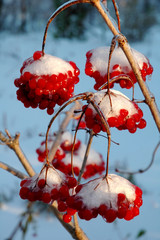 The viburnum in snow