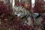 Fototapeta zwierzę - dzikość - Dziki Ssak