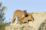 Cougar protecting her kits