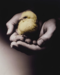 Man holding chick in cupped hands, close-up