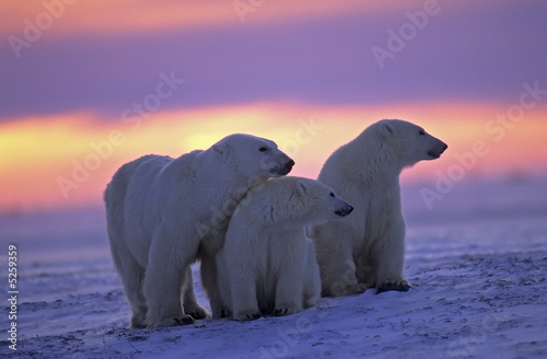 In de dag Ijsbeer Polar bear with her cubs in Canadian Arctic sunset