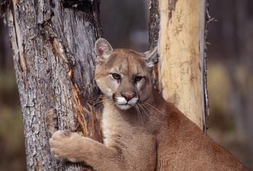 Cougar hug