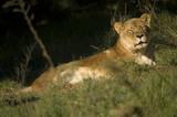 Lionness asleep poster