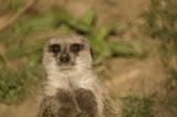 Slender Tailed Meerkat poster