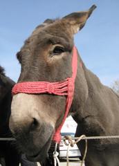 Mule Portrait