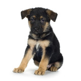 german shepherd (7 weeks)/ alsatian, police dog poster