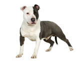 American Staffordshire terrier (7 months) poster