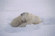 Polar bear sow with her cubs