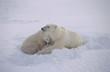 Polar bear sow with her cubs