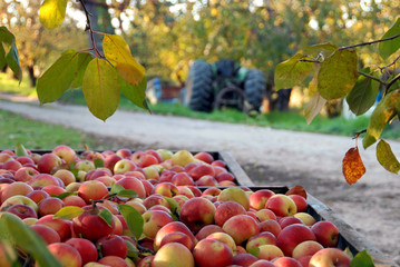 Fall Apple Harvest and Orchard