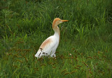 Cattle Egret (Bubulcus ibis) 2 poster