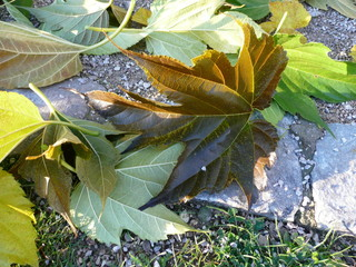 Chute de feuilles