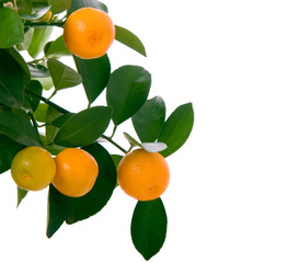 Tangerine branch with ripe fruits