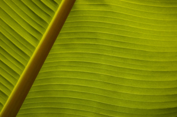 Banana palm leaf closeup