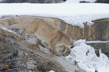 Cougar in winter