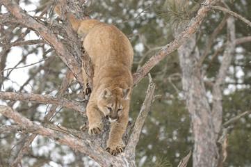 Cougar climbing down tree
