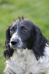 Black and white Spromger Spaniel