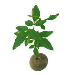 jeune arbre sur galet