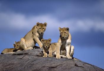 Africa-Lions on kopje