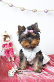 The puppy of the yorkshire terrier in the celebratory order poster