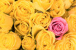 pink rose in  yellow roses  bunch