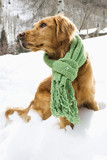 Golden Retriever sitting in snow wearing green scarf. poster
