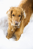 Golden Retriever with snowy snout. poster