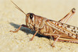 Desert Locust. close up