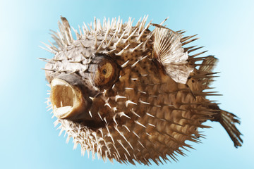 Taxidermal inflated puffer fish, studio shot