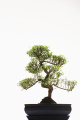 Bonsai Tree in studio