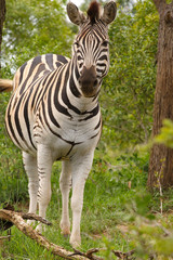 Plains Zebra (Equus burchellii)
