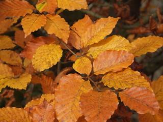 otoño en hayedo