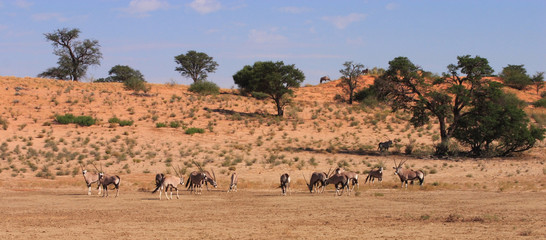Gemsbok (Oryx gazella) Herd