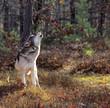 Fototapeta Zwierzę - Natura - Dziki Ssak