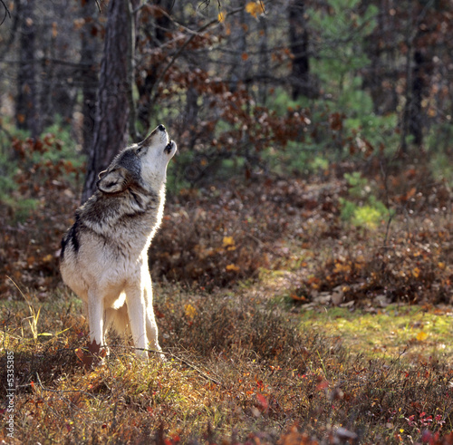 Foto op Canvas Wolf Gray wolf howling