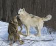 Fototapeta Zimą - Natura - Dziki Ssak
