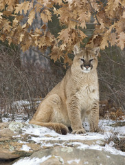 Cougar sitting in light snowfall