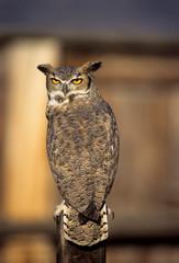 Long-eared owl on  fence post.