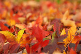 Autumn Maple leaves on the ground, swallow depth of field poster