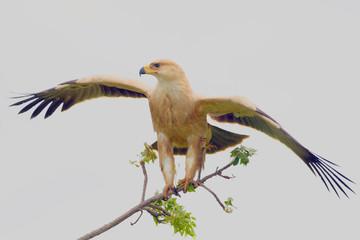 Pale Morph Tawny Eagle (Aquila rapax)