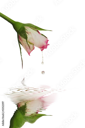 Leinwanddruck Bild Fraîcheur de rose