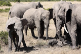 bunch of elephants playing with mud  poster