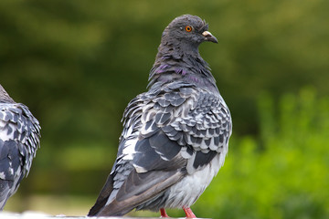 close up of a pigeon in park 2